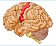 Sketch of the brain with primary motor cortex in red