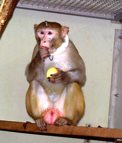 Rhesus monkey eating. The animals are given fresh fruit every day. Credits: Max Planck Institute for Biological Cybernetics.