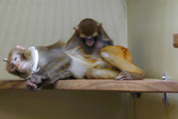 Rhesus monkeys grooming each other. The reclining monkey is wearing a light plastic ring around its neck and has a head post implanted. The post is fully incorporated in the monkeys' natural grooming behavior. Credits: Max Planck Institute for Biological Cybernetics.